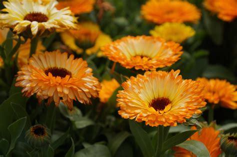 companion flowers for vegetable garden beautiful defenders companion flowers heeman s