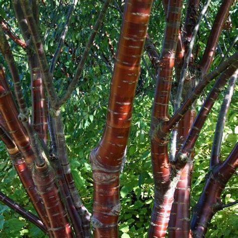 prunus serrula tibetica birch bark cherry tree mail order trees