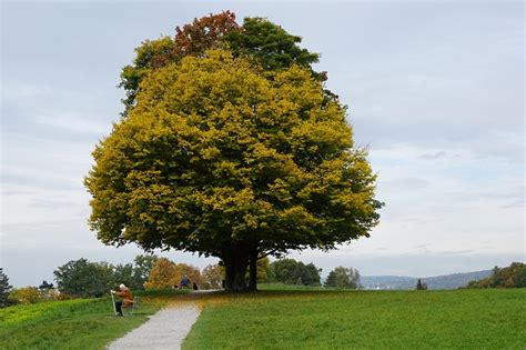 maple tree types maple trees which types are best for firewood syrup shade foliage goldcountryliving