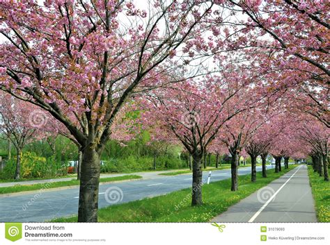 6 cherry tree road flowering cherry trees along a road stock image image of colorintensively allee 31079093
