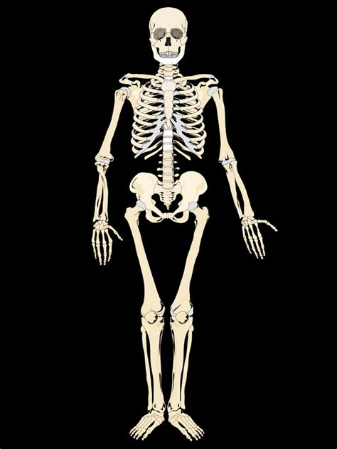 a skeleton for