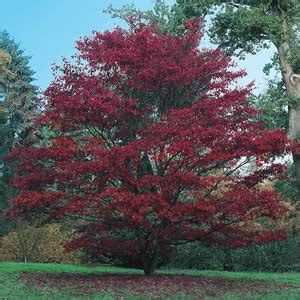 maple tree species maple tree pictures images photos info on the maple tree species