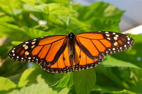 a butterfly file monarch butterfly showy 3000px jpg