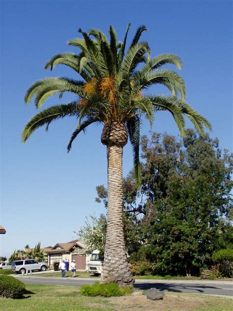 national tree dates date palm