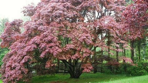 japanese maple tree zone 9 plantfiles pictures japanese maple bloodgood acer palmatum by miscanthus65