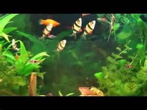 aquarium d eau douce poissons exotiques d eau douce poissons d eau d de eumobird