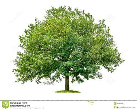 tree on white oak tree on a white background stock photo image 40948841