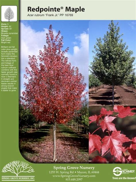 redpointe maple tree facts yard texture trees maple tree and