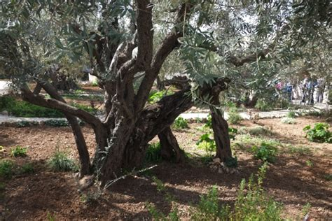 olive trees in the garden of gethsemane in jerusalem jerusalem israel
