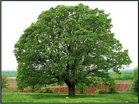 oak tree rubber st arboristliverpool tree services liverpool tree work