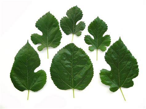 soft my tree morus alba white mulberry leaves this plant can be