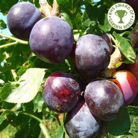 all tree czar plum tree buy plum tree purchase plum fruit trees