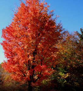 maple tree all year the tree guide at arborday org