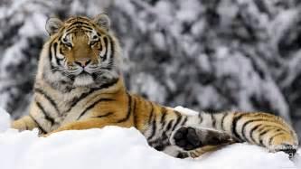 of tiger tiger in winter 4182889 1920x1080 all for desktop