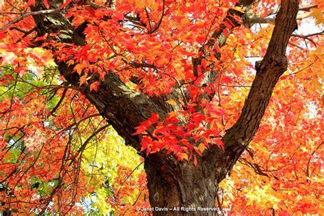 fall color fall colour autumn color autumn colour trees shrubs designing with fall color