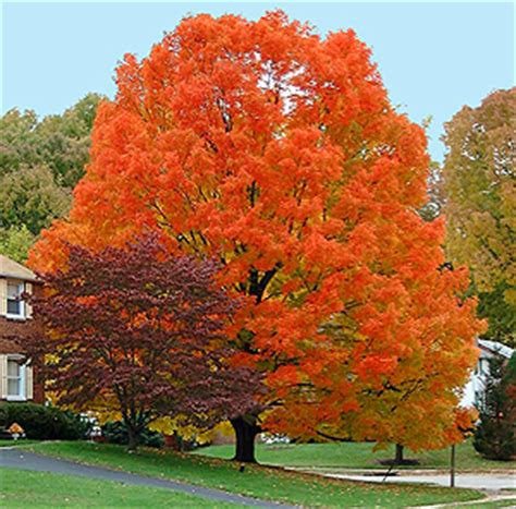 3 trees for fall color autumn blaze maple is not the only crayon in the box square pennies