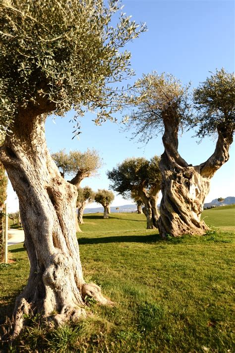 40 best greece olive trees images on olive tree olive oils and greece