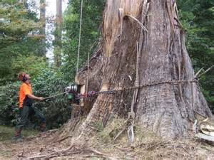 cutting tree big tree cutting and tree climbing by ace tree management