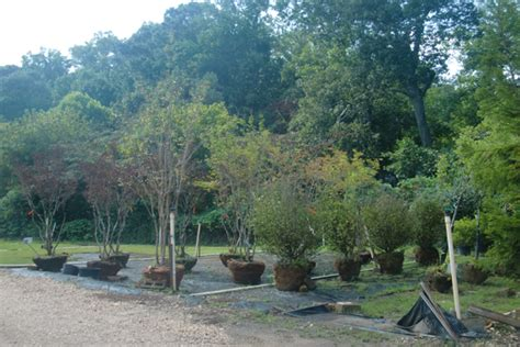 trees for sale wholesale trees for sale wholesale 28 images redwood trees for
