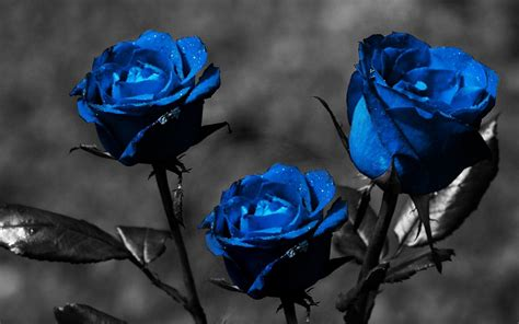 dark blue roses wallpaper wallpapersafari