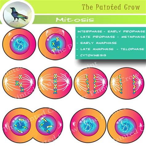 pop mitosis cell mitosis clip cytokinesis cell division