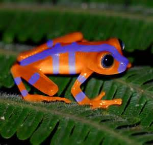 orange and blue tree bluefire frog colored creatures