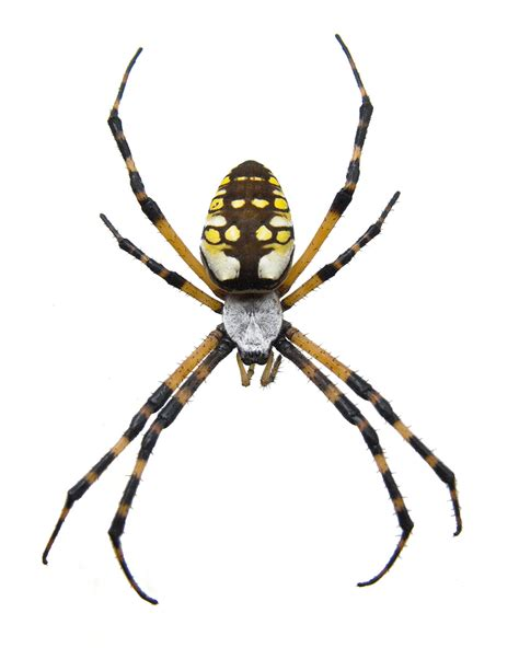 Garden Spider Photos Black And Yellow Garden Spider Pest Facts