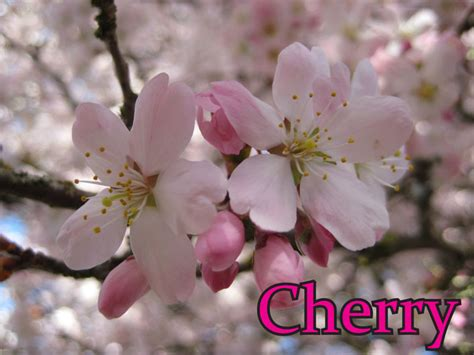 cherry tree vs cherry blossom tree plum trees versus cherry trees how to tell the difference and identify them vancouver cherry