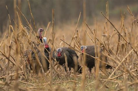 real tree tips realtree guide to fall turkey