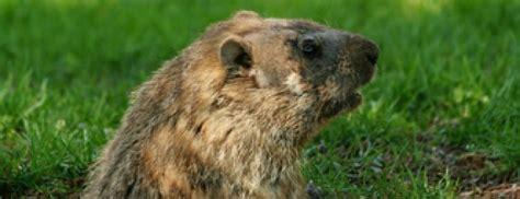 groundhog day play groundhog s day gifs to and