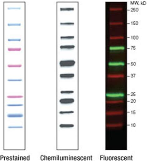 invitrogen fluorescent protein standards and ladders molecular weight markers
