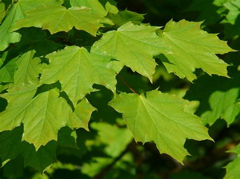 maple tree green leaves maple maple leaves journal tree green light domain pictures free pictures
