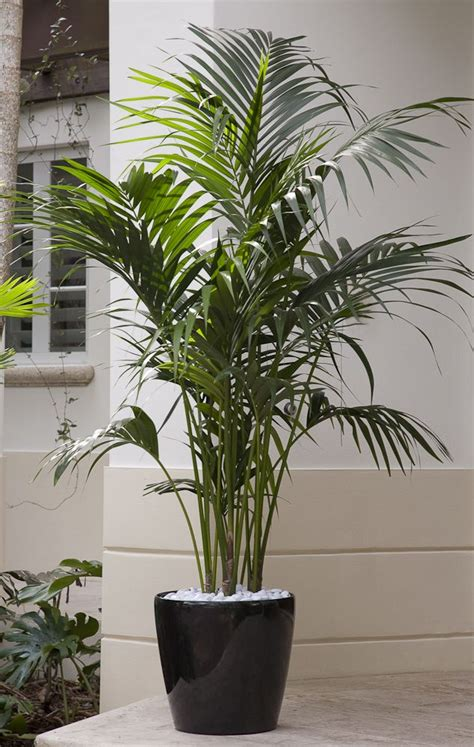 indoor palm a premium plant kentia palm is an plant that