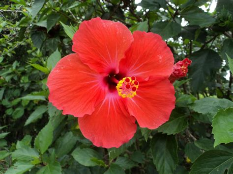 hibiscus flower hibiscus flower pictures beautiful flowers