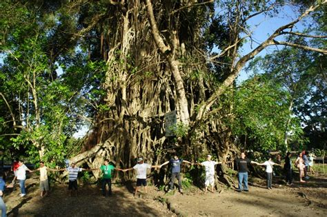 tree baler our philippine trees the mystic balete tree of baler
