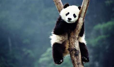 panda china arrested for killing panda before