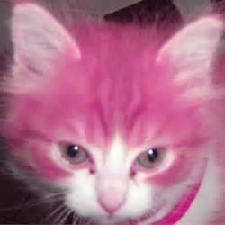 pink cat kittens ilikecatsandsatan oms a hairless