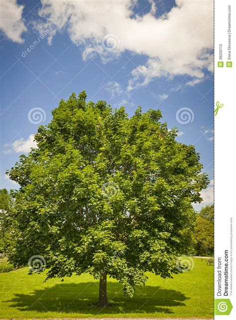 maple tree in summer field stock photography image 38259712