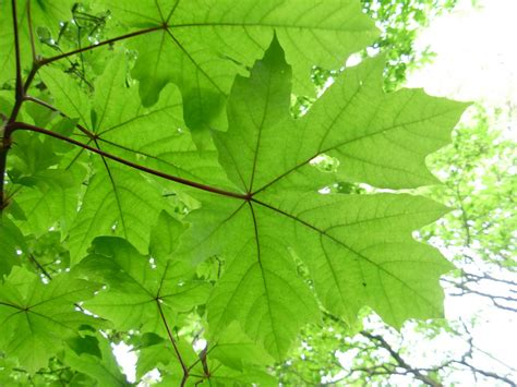 get to a variety of maple tree species