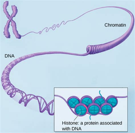 bead like proteins around which dna coils eukaryotic cells 183 biology