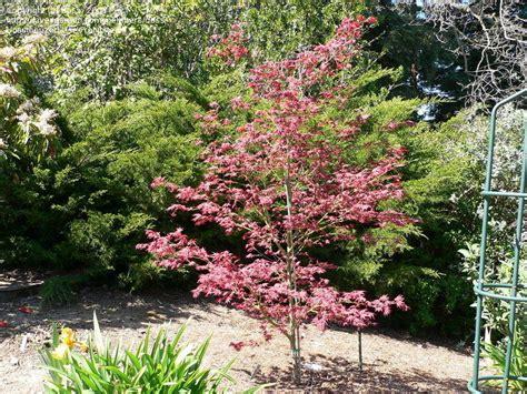 japanese maple tree zone 9 plantfiles pictures japanese maple tsukushigata acer palmatum by growin