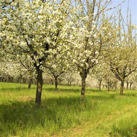 stella cherry tree buy at nature nursery