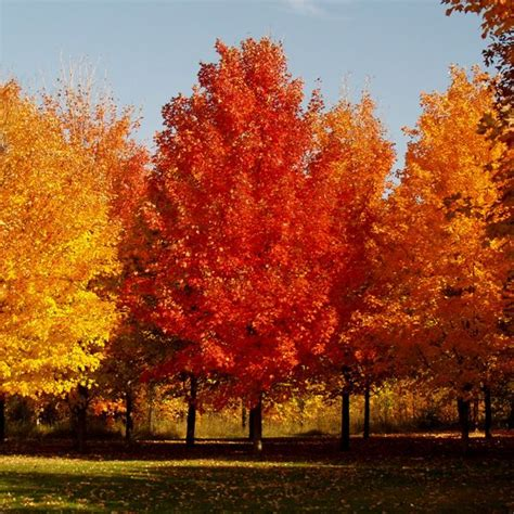 48 best types of maple trees images on maple tree acer and maple syrup