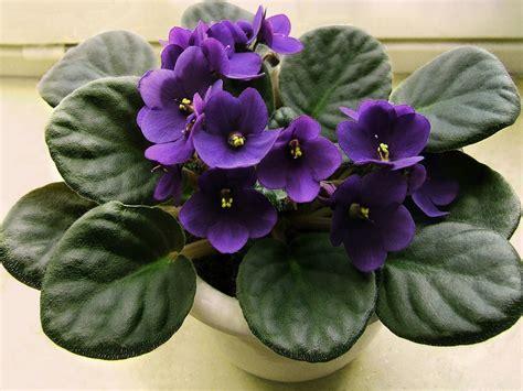 low light indoor flowers low light indoor plants with flowers snaplant
