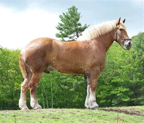how many pony in a pound in the world zeus horses