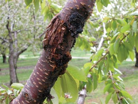 bacterial canker fruit grower
