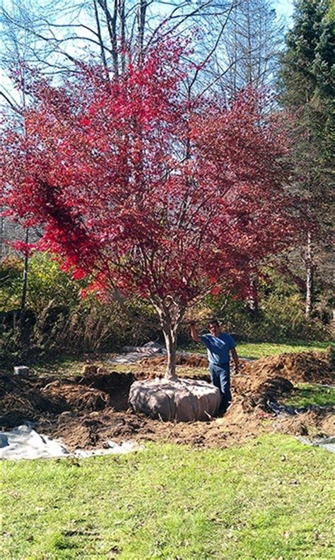 japanese maple trees everything you wanted to the tree center