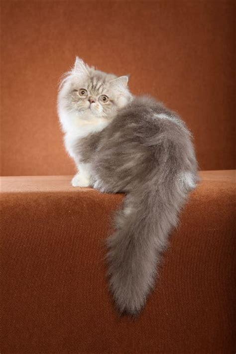 of a cat napoleon versus munchkin thenapoleoncat s