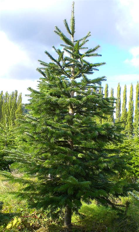 noble fir tree pictures tree descriptions and pricing