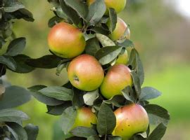 ottershaw trees fruit trees for small spaces product range the otter